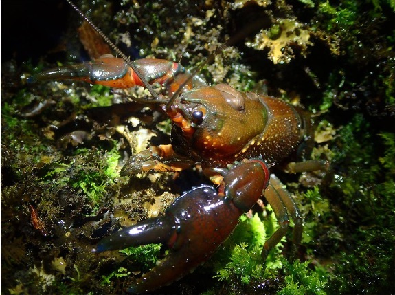 Web_Murrongower_Crayfish_892-517-0002.jpg