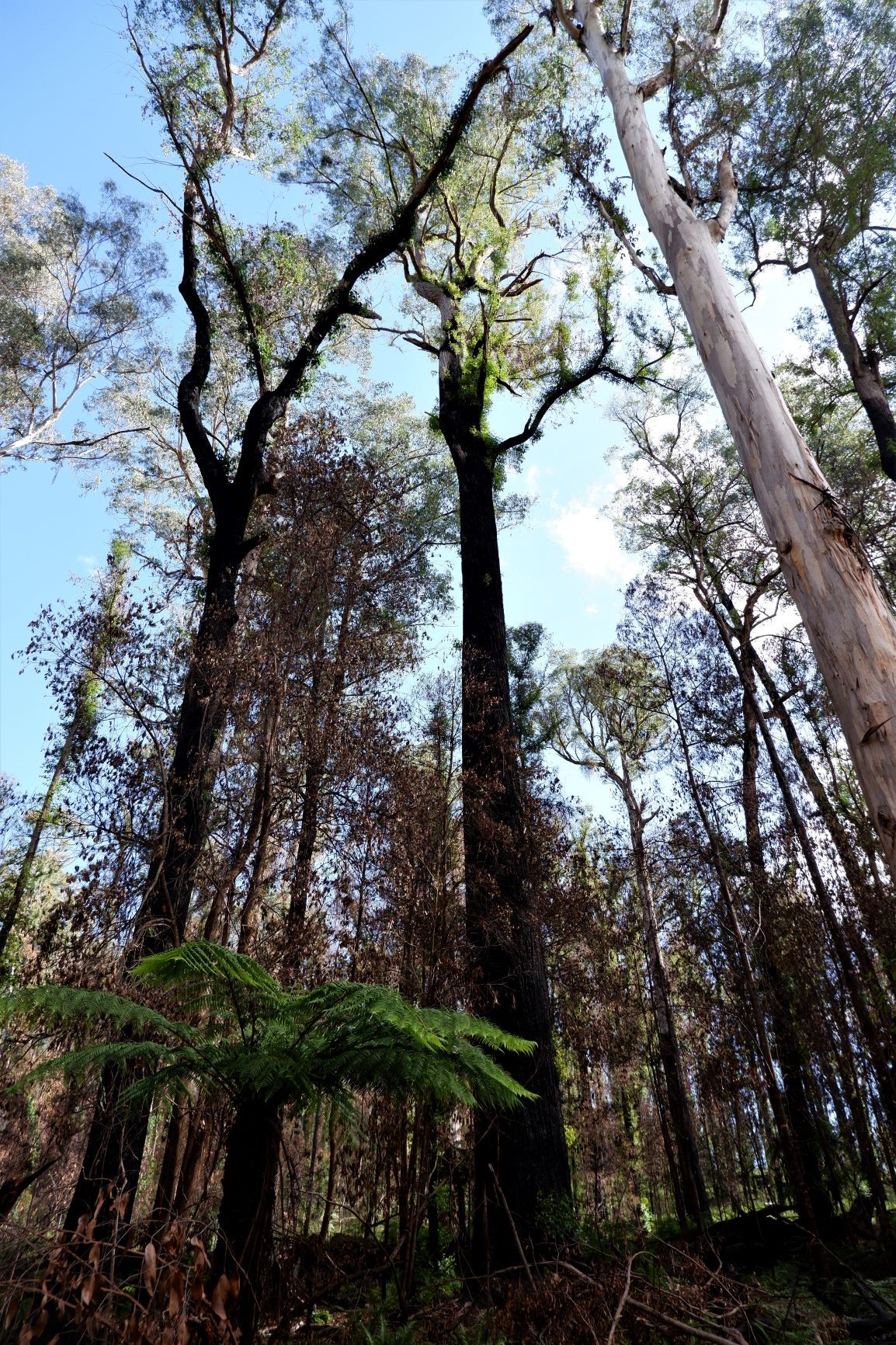 Fire damaged forests in East Gippsland scheduled for logging