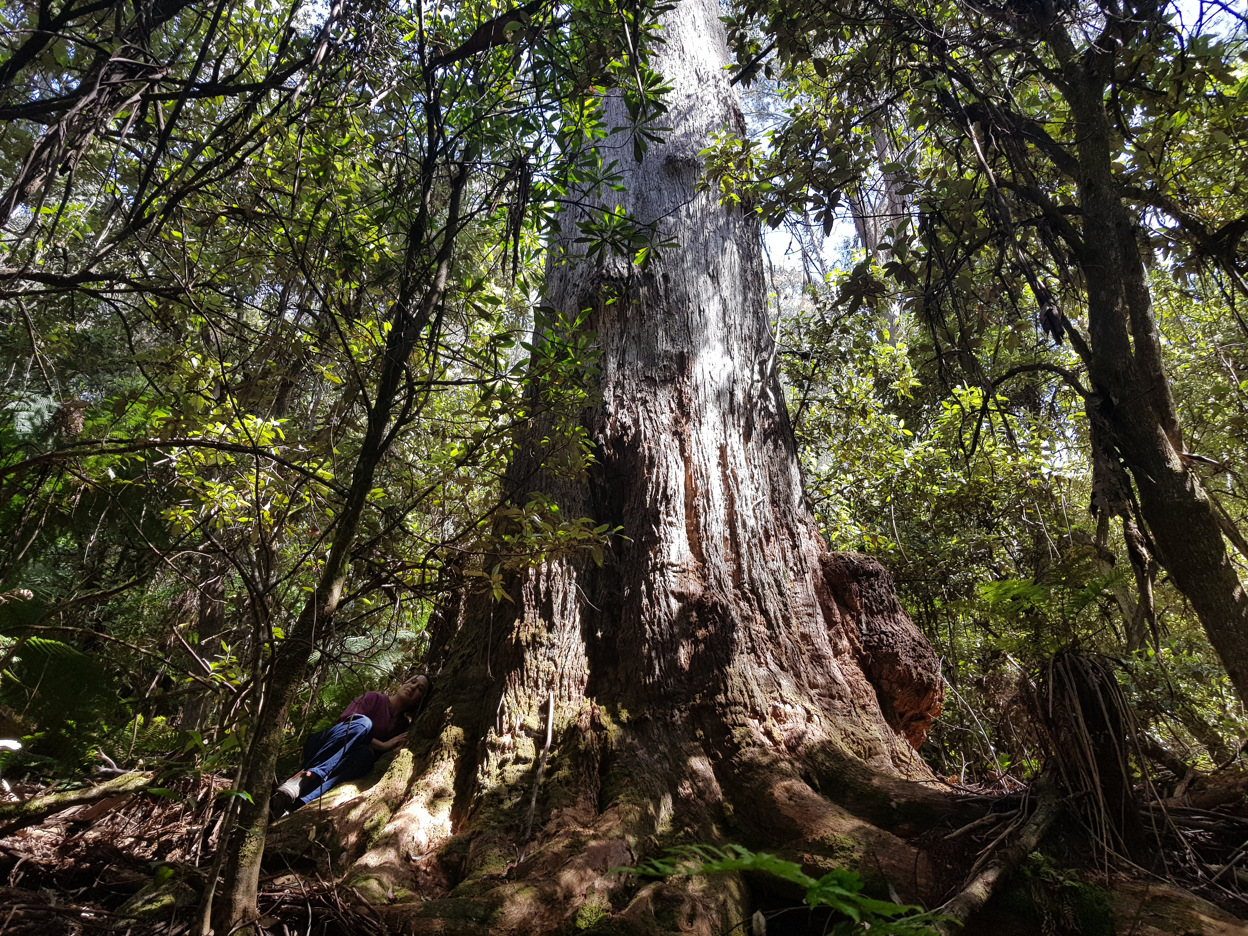 Person sits next to a giant tree in beautiful forest
