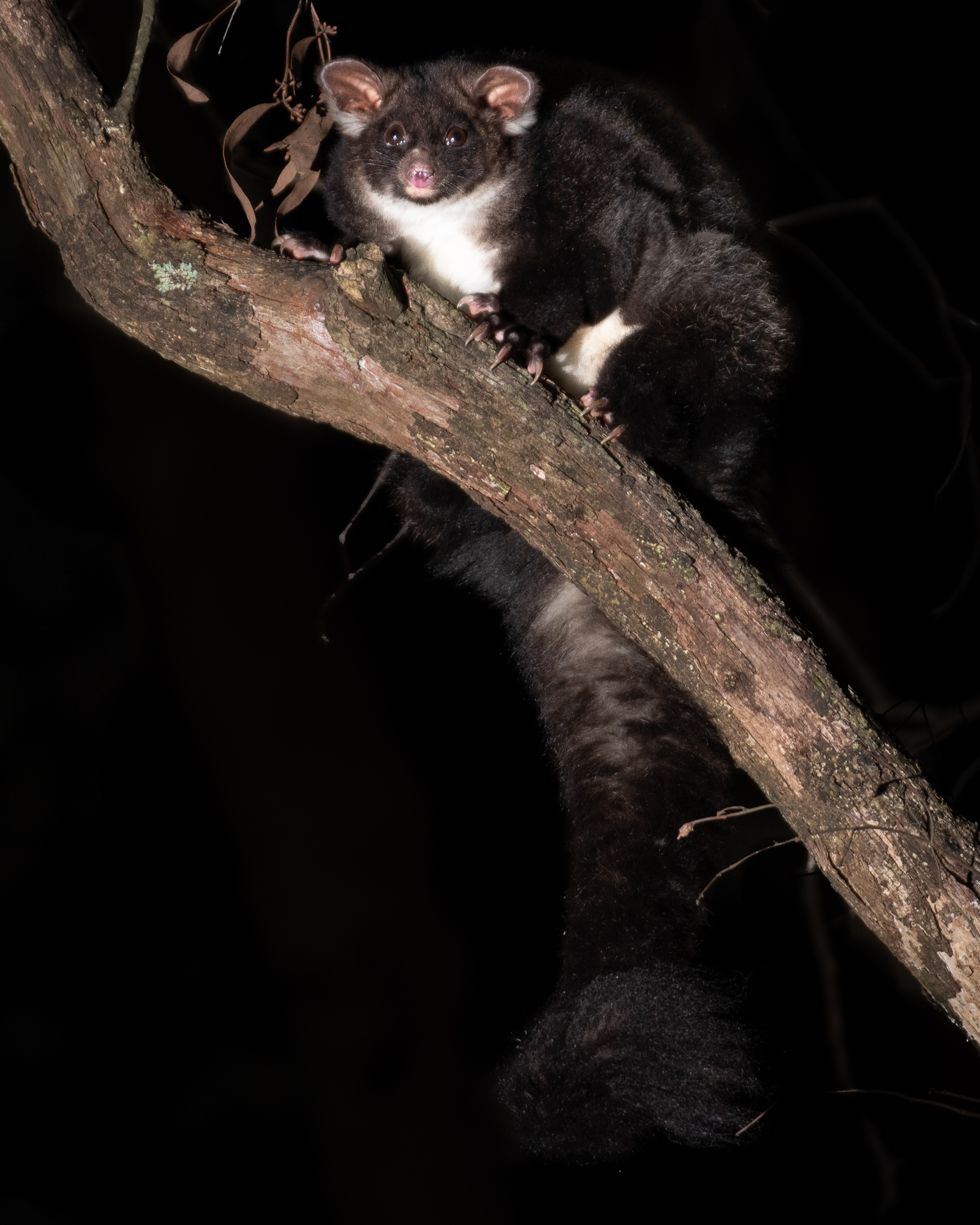 A Greater Glider perched on a branch
