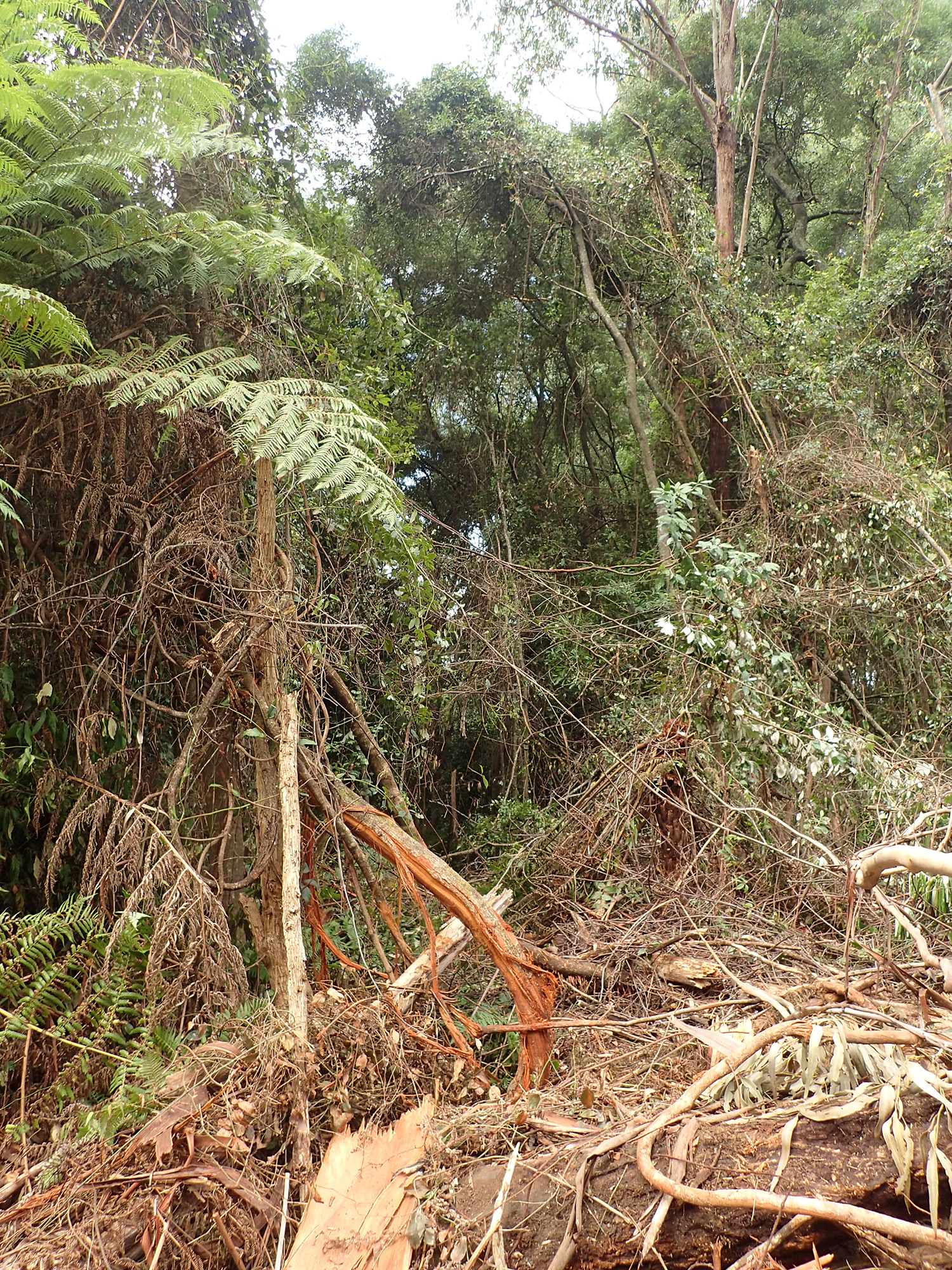 160315_-_Damaged_Rainforest_Canopy_Species_within_coupe_832-502-0017.jpg