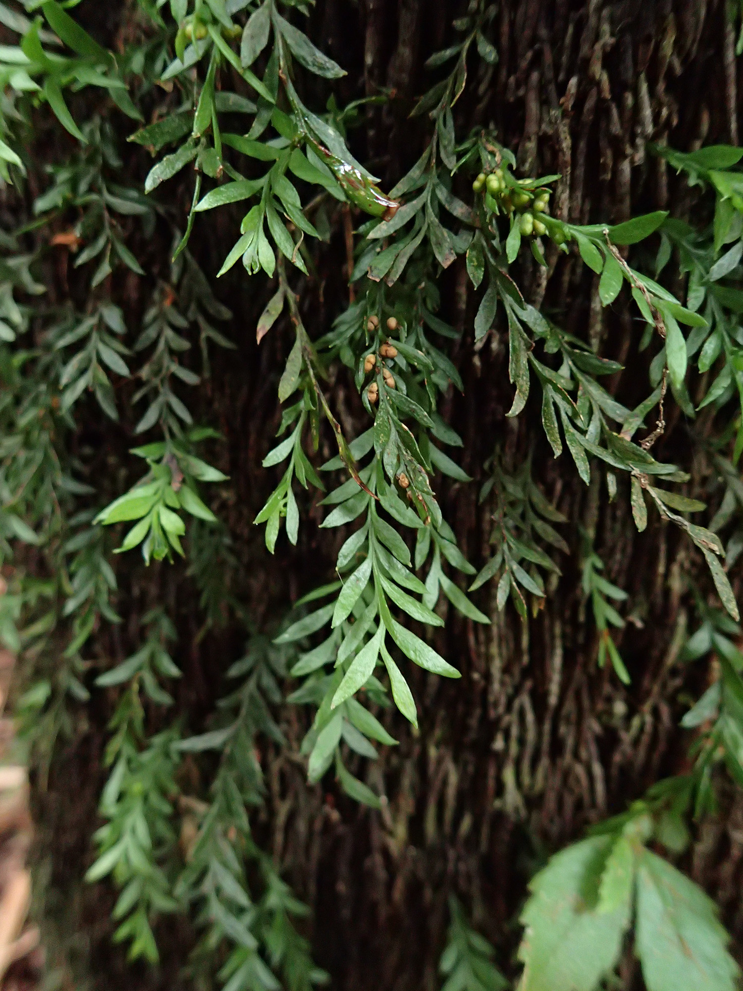 160315_-_Small_Fork-fern_within_Rainforest-Pugaree_Rd_-_832-502-0017.jpg
