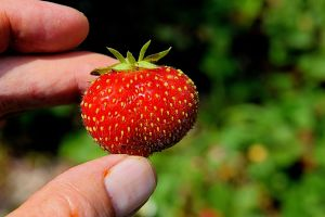 last-strawberry-of-_Lalomia_2.jpg
