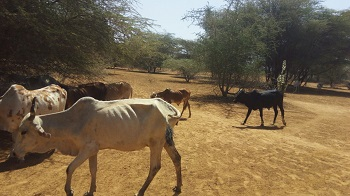 Kenya_-_Byrd_Spr_2017_Cows.jpg