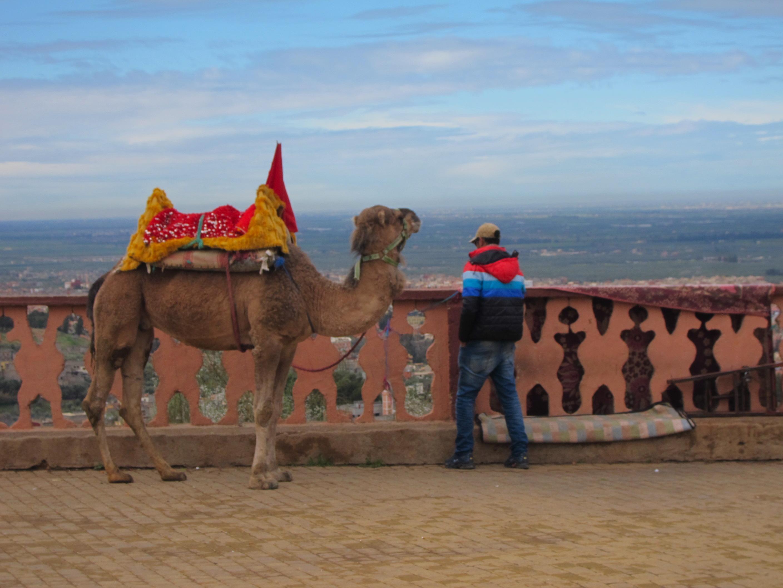 Camel__Beni_Mellal__Morocco.JPG