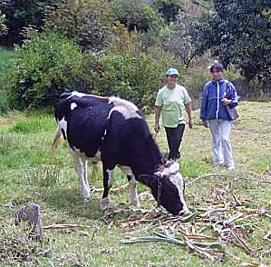 Cow_Project_Web.jpg