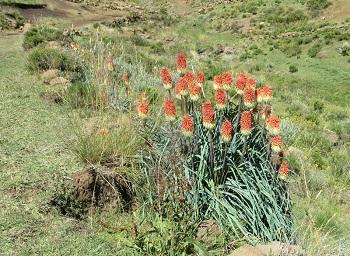 Lesotho_-_flowers.jpg