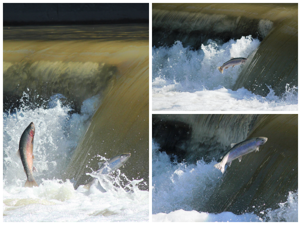 Photograph collage: Trout leaping over the foamy water.