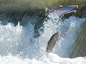 Trout jumping in the Humber