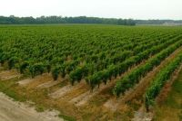 Wine Grape Replant Program