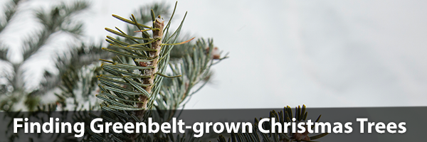 Christmas Trees with text overlay-finding Greenbelt-grown Christmas Trees