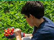 Photo - picking strawberries