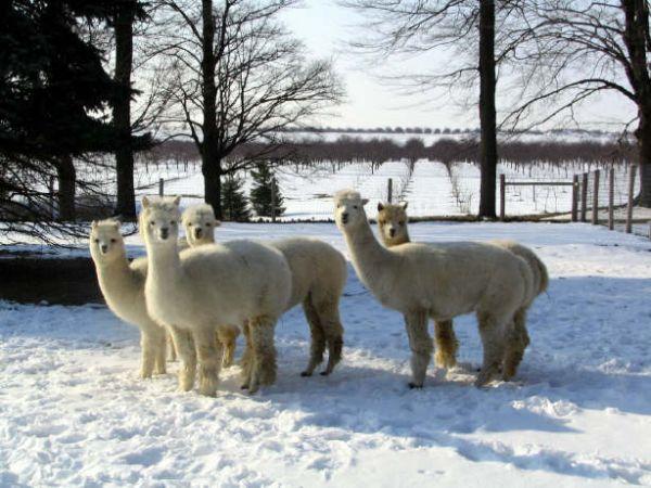 Alpacas_in_Snow_-_web_001.jpg