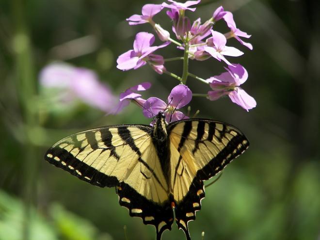 swallowtail_butterfly_dundas_v.jpg
