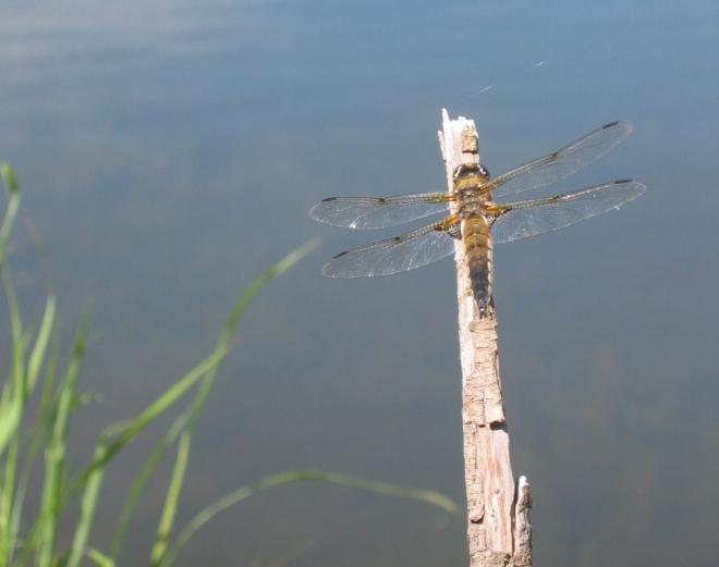 2010-05-21_dragonfly.jpg
