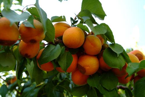 2010-05-10_peaches_0.jpg
