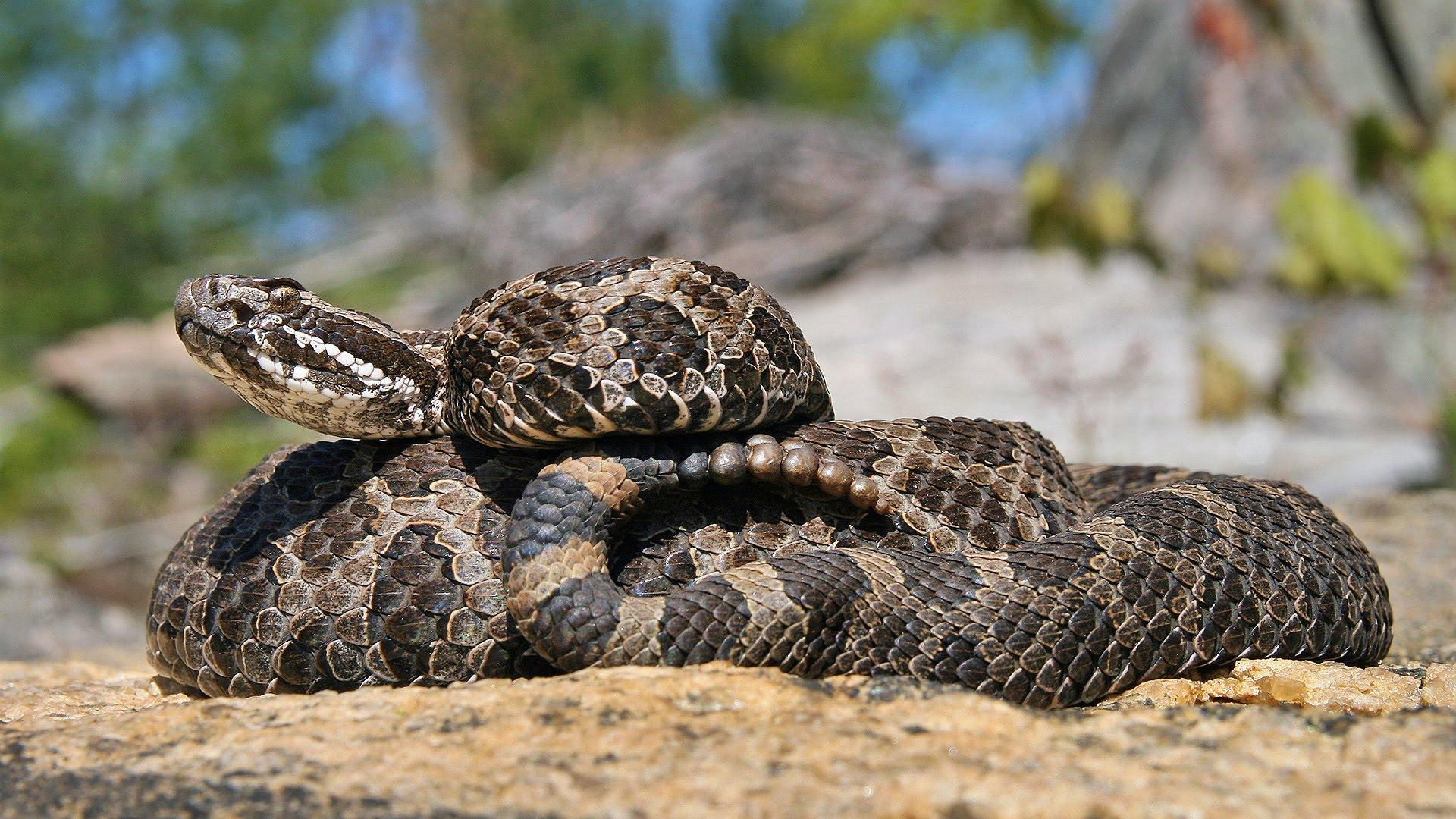 Rattle_snake_youtubr.jpg