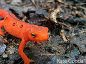 Orange geko among leaves