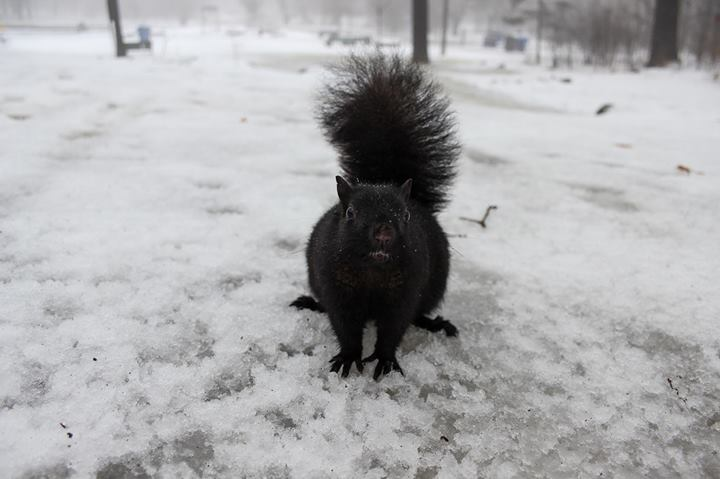 Black Squirrel photo from High Park