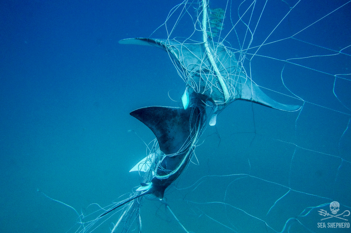 SeaShepherd14Dec172Rays_caught_Lennox_shark_net.jpg