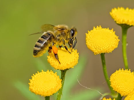 Bee on a yellow flower. Bees can be killed by pesticides.