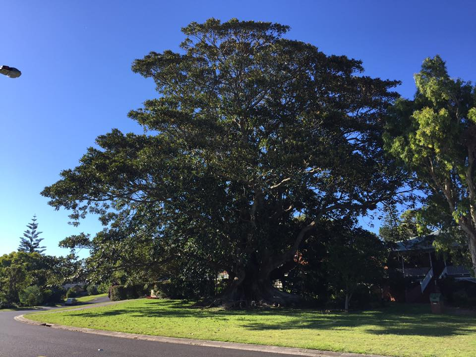 Lennox Head Castle Drive Fig tree