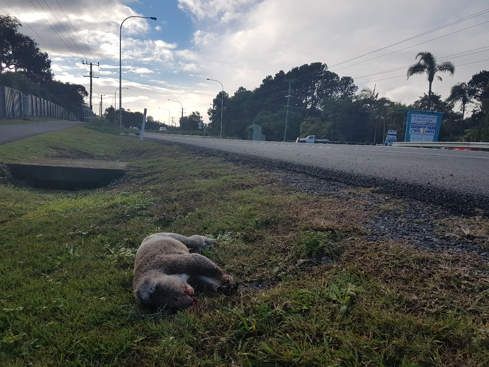 Dead koala Ewingsdale Rd Byron Bay