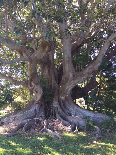 Lennox-Head-Morton-Bay-Fig-tree-removal-sparks-protest1-Jenny-Gridlington.jpg