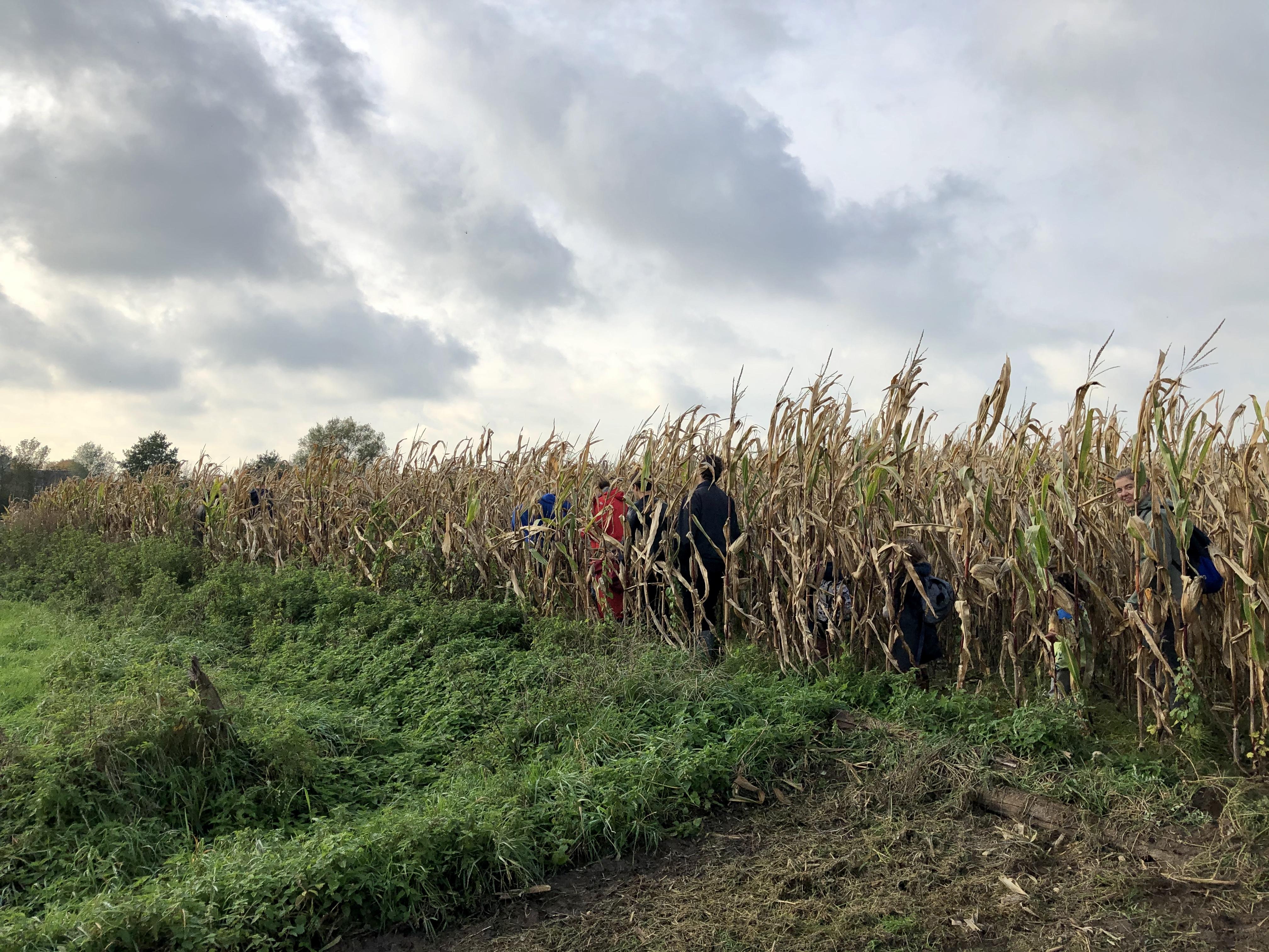 Door het maïsveld, want de trage weg is helemaal ingepalmd door een gebrekkig onderhoud door de gemeente. Credit: Luc De Cleir