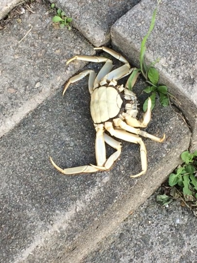 Krab op stoep