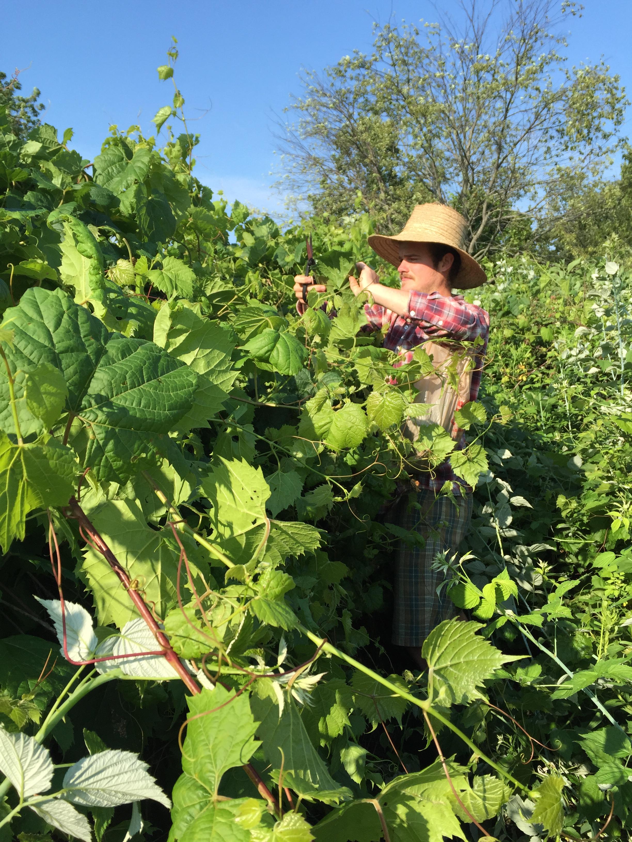 Chris_Bocz_harvesting_grape_leaves.JPG