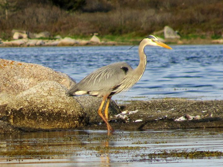 Great_Blue_Heron_-_Nova_Scotia_Chamberlain_2007.jpg
