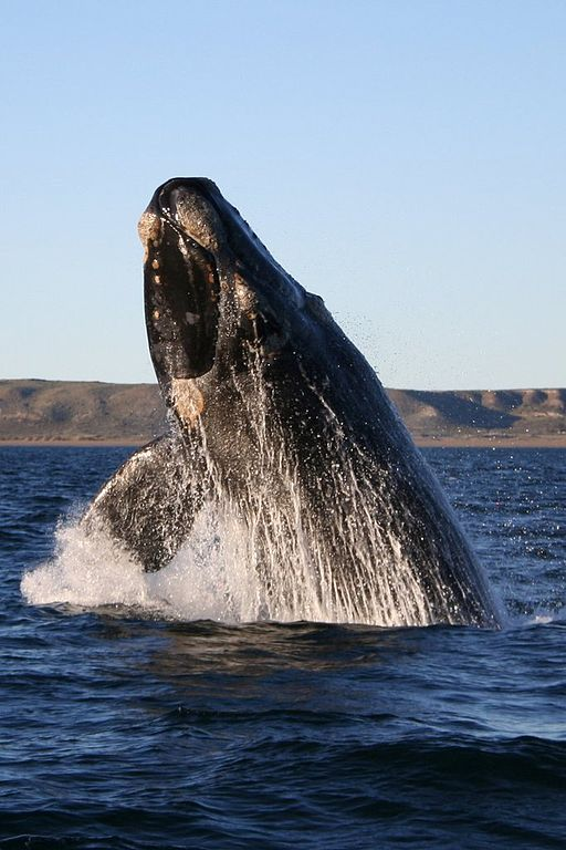 512px-Southern_right_whale.jpg