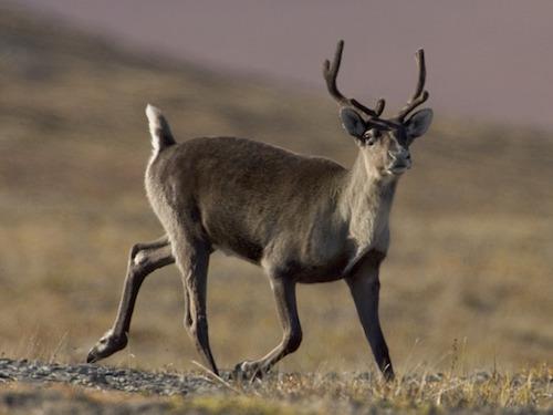 boreal caribou