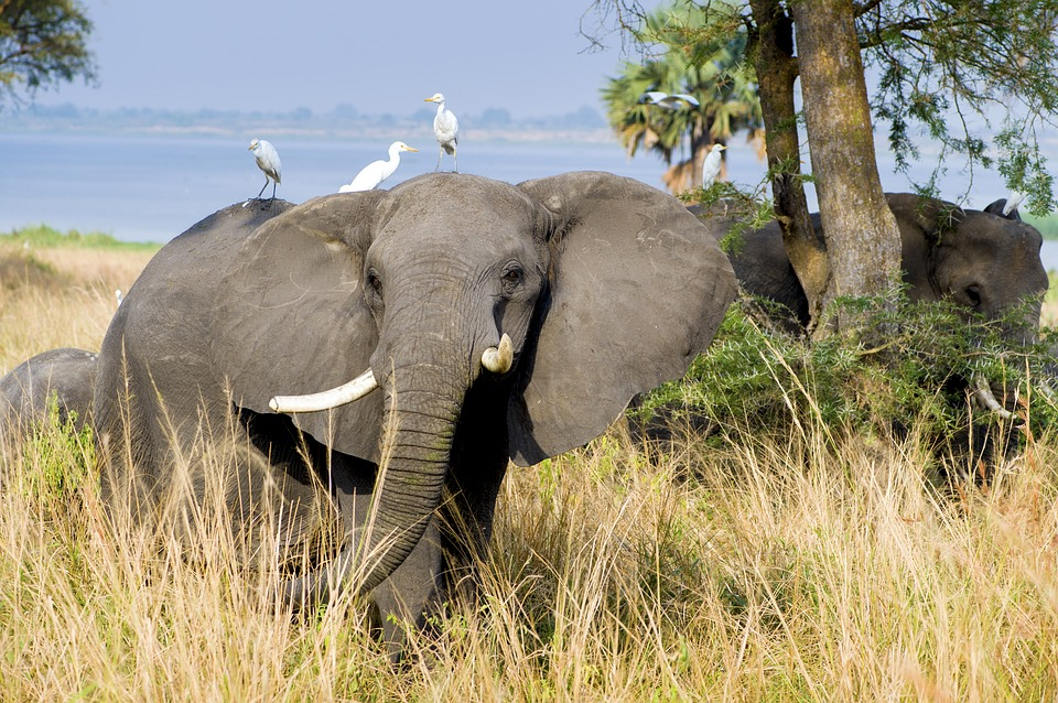 Wild elephant with birds perched on him