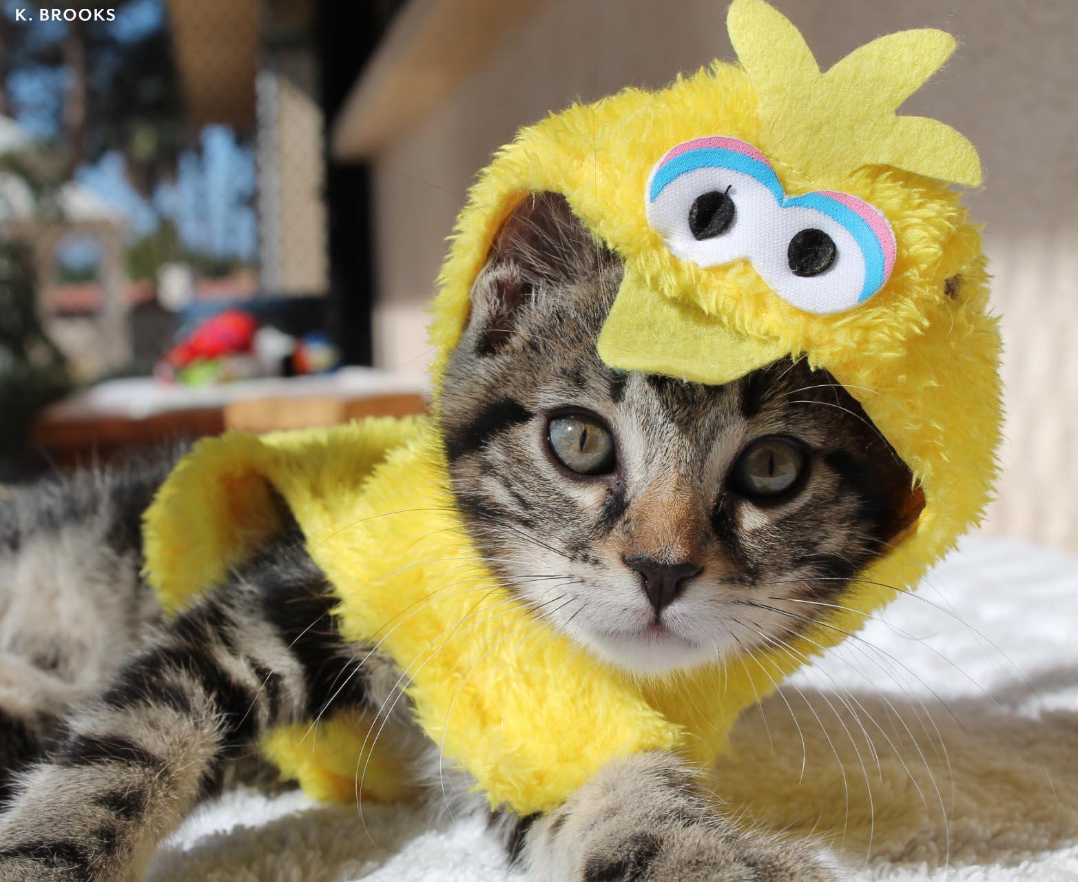 kitten.halloween.kb.jpg