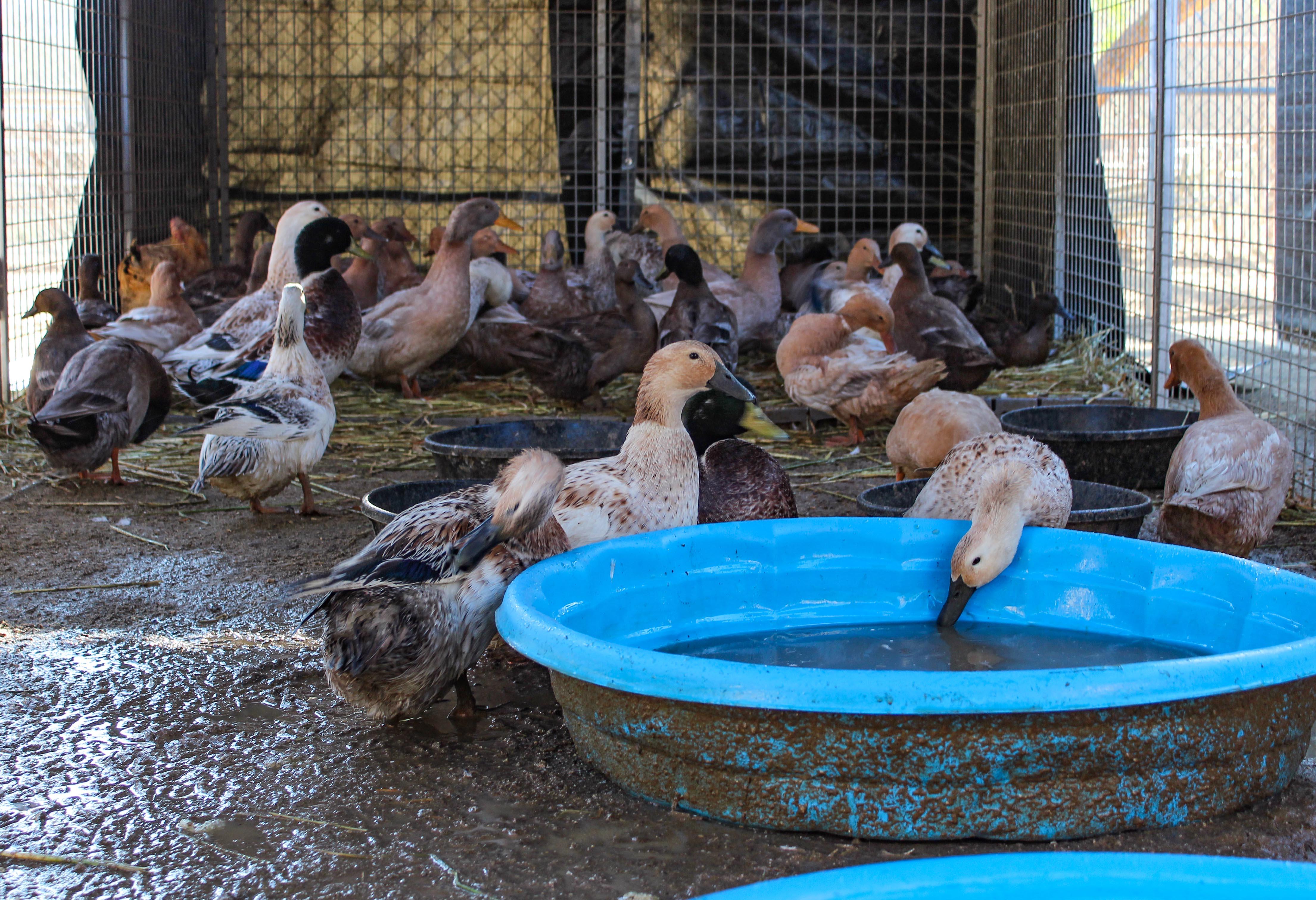 ducks1110.jpg