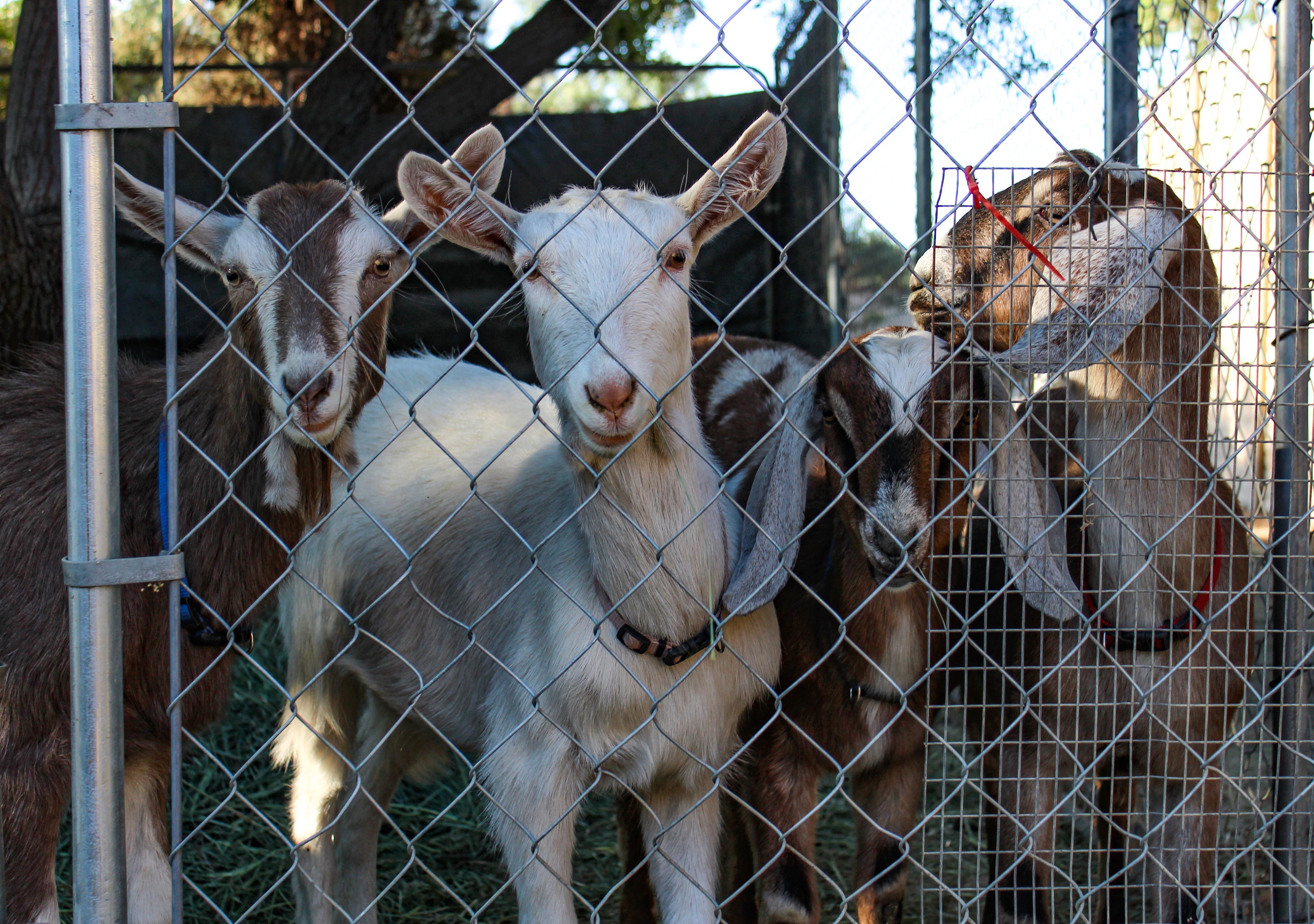goats.1110.jpg