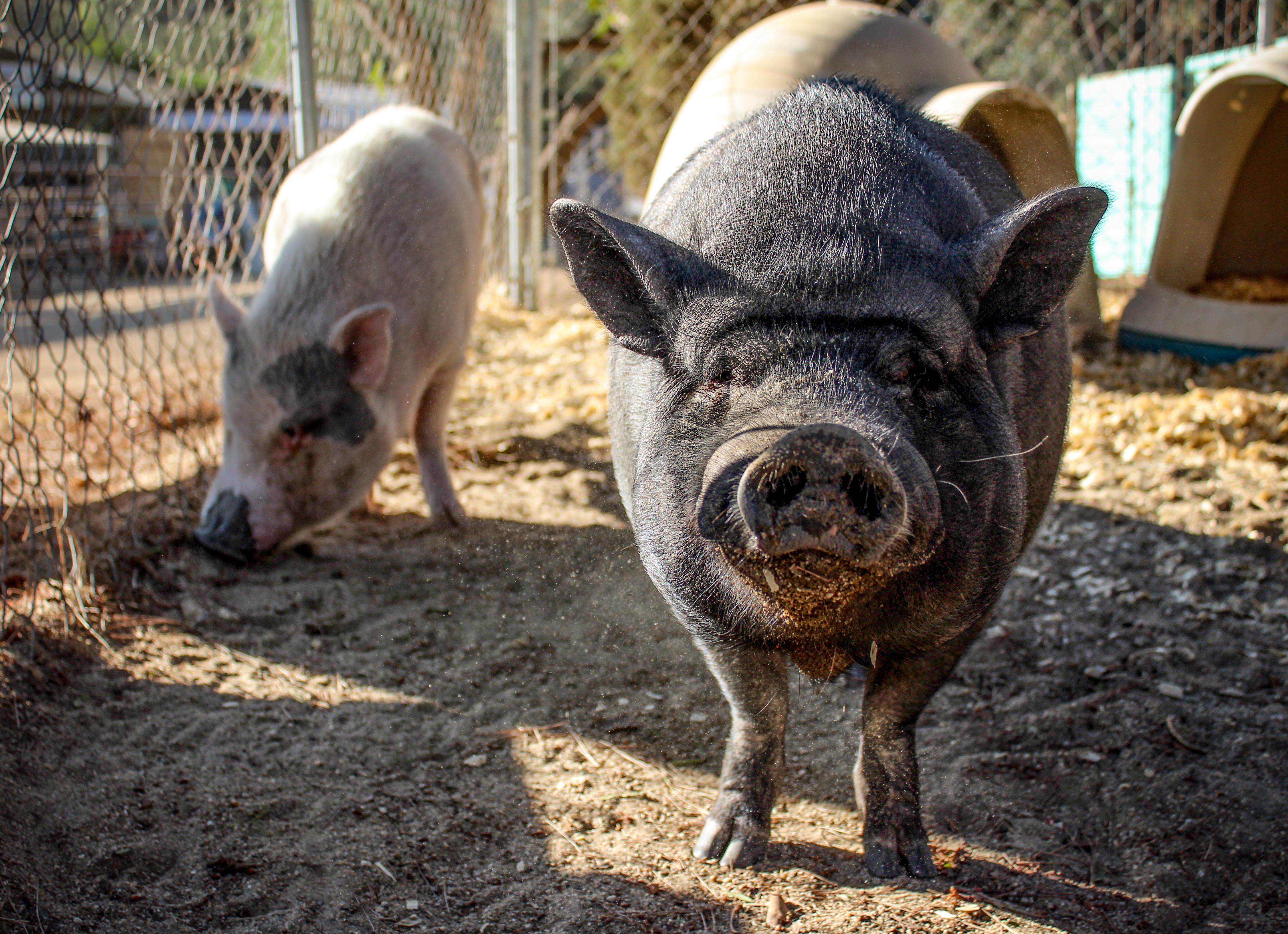 pigs.1110.jpg