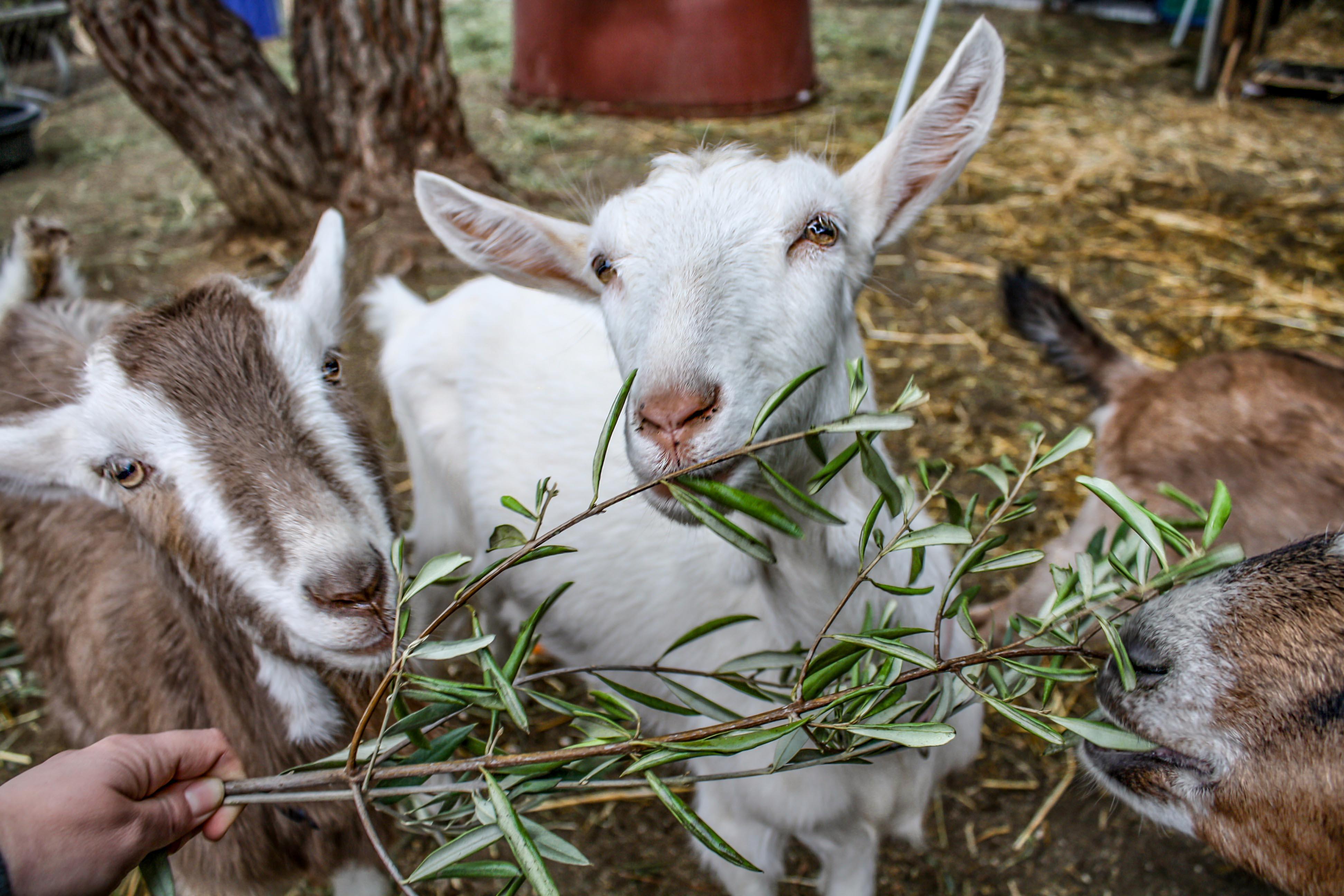 goats.olive.oil.jpg