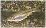 fishchub.png