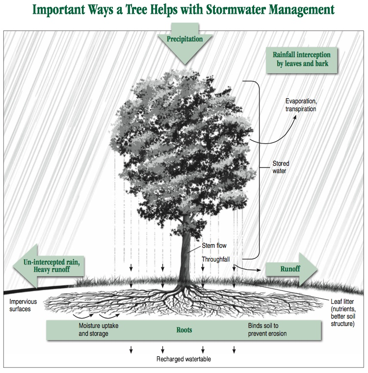How_trees_help_manage_stormwater.jpg