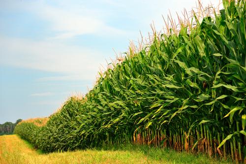 organic-corn-field.jpg