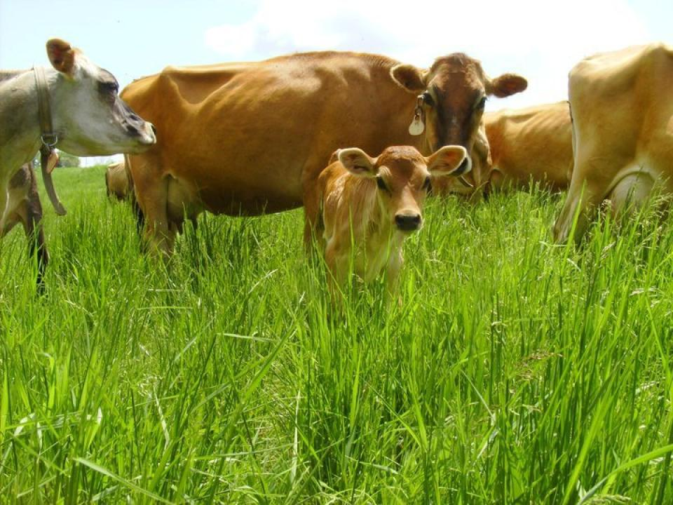 Radiance_Dairy_Cows_(1).jpg