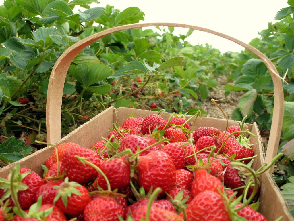 strawberrypickingbasket.jpg