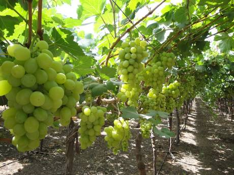 Caption_-_Early_Sweet_Grapes_in_the_Jordan_Valley.jpg