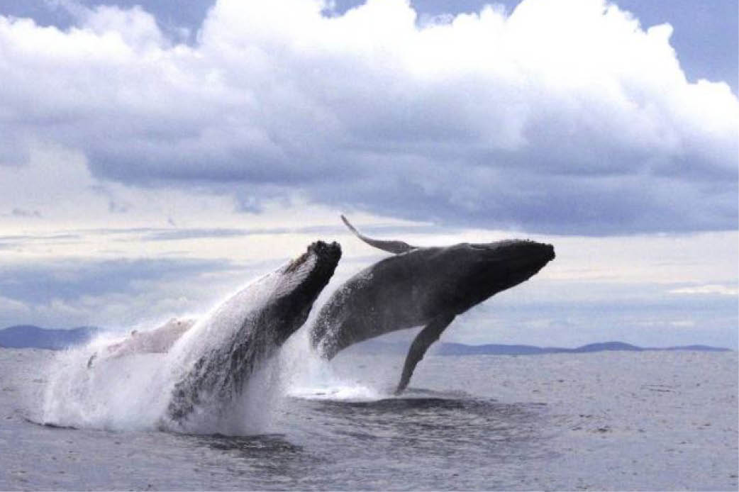 Seismic testing approval in potential clash with whale migration