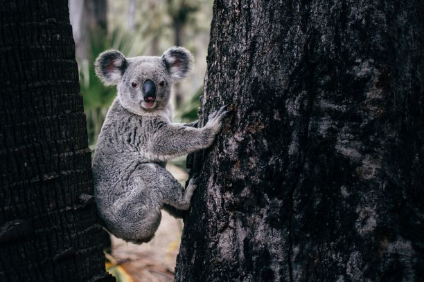 Alarming new data reveals record land clearing levels as the Liberal/National 'Koala Wars' live on