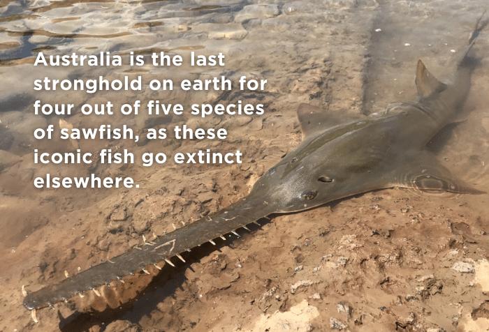 Sawfish Australia