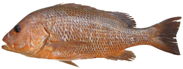 Golden-snapper-Lutjanus-johnii.jpg